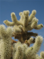 Cholla Cactus in Joshua Tree National Park