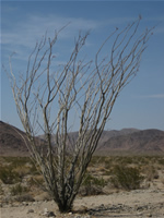 Ocotillo in Joshua Tree National Park