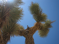 Joshua Tree near Victorville